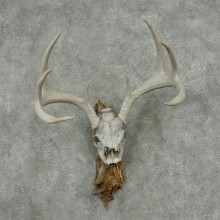 Whitetail Deer Skull & Antler European Mount #13762 For Sale @ The Taxidermy Store