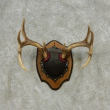 Whitetail Deer Antlers Plaque Taxidermy Mount #13108 For Sale @ The Taxidermy Store