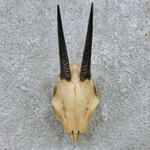 Duiker Skull & Horn European Mount For Sale #15170 @ The Taxidermy Store