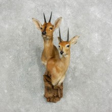 Bush Duiker/Steenbok Pair Shoulder Mount For Sale #17640 @ The Taxidermy Store