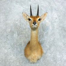 East African Oribi Mount #18448 - For Sale - The Taxidermy Store