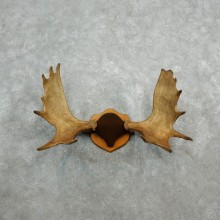 Eastern Canada Mouse Antler Plaque For Sale #18089 @ The Taxidermy Store