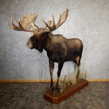 Eastern Canadian/Maine Moose Life-Size Taxidermy Mount For Sale