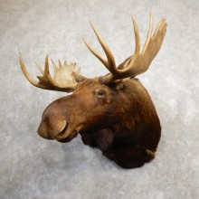 Eastern Canadian Moose Taxidermy Shoulder Mount For Sale