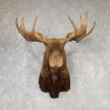 Eastern Canadian Moose Shoulder Mount For Sale #20429 @ The Taxidermy Store
