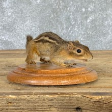 Eastern Chipmunk Life-Size Mount For Sale #22935 @ The Taxidermy Store