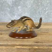 Eastern Chipmunk Life-Size Mount For Sale #22937 @ The Taxidermy Store
