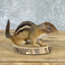 Eastern Chipmunk Life-Size Mount For Sale #22938 @ The Taxidermy Store