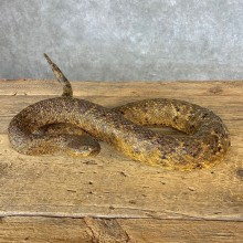 Eastern Diamondback Rattlesnake Mount For Sale #21377 @ The Taxidermy Store