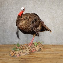 Eastern Turkey Bird Mount For Sale #20666 @ The Taxidermy Store