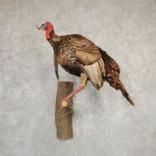 Eastern Turkey Bird Mount For Sale #20789 @ The Taxidermy Store