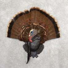 Eastern Wild Turkey Fan For Sale #19748 @ The Taxidermy Store