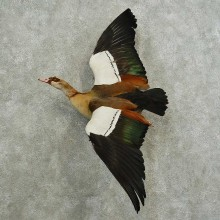 Egyptian Goose Bird Mount For Sale #16776 @ The Taxidermy Store