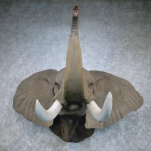 African Elephant Replica Shoulder Mount For Sale #14462 @ The Taxidermy Store