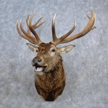 Cross Elk Taxidermy Shoulder Mount For Sale
