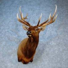 Rocky Mountain Elk Shoulder Mount For Sale #15507 @ The Taxidermy Store