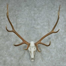 Rocky Mountain Elk Skull & Horns Mount #13682 For Sale @ The Taxidermy Store