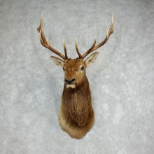 Rocky Mountain Elk Shoulder Mount For Sale #17986 @ The Taxidermy Store