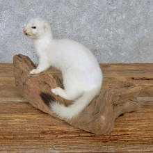 White Weasel Life-Size Mount For Sale #14894 @ The Taxidermy Store