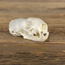 Ermine Full Skull Taxidermy Mount For Sale #19830 @ The Taxidermy Store