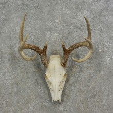 Whitetail Deer Skull European Mount For Sale #17082 @ The Taxidermy Store