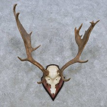 Fallow Deer Skull Antler European Mount For Sale #14541 @ The Taxidermy Store