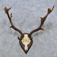 Fallow Deer Skull Antler European Mount For Sale #14549 @ The Taxidermy Store