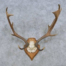 Fallow Deer Skull Antler European Mount For Sale #14783 @ The Taxidermy Store
