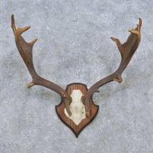 Fallow Deer Skull Antler European Mount For Sale #14784 @ The Taxidermy Store