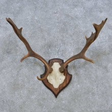 Fallow Deer Skull Antler European Mount For Sale #14785 @ The Taxidermy Store