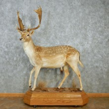 Fallow Deer Standing Life Size Taxidermy Mount #12956 For Sale @ The Taxidermy Store