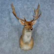Fallow Deer Shoulder Mount For Sale #15501 @ The Taxidermy Store