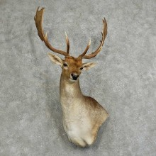 Fallow Deer Shoulder Mount For Sale #16046 @ The Taxidermy Store