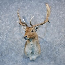 Fallow Deer Shoulder Mount #12007 For Sale @ The Taxidermy Store