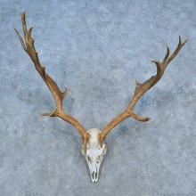 Fallow Deer Skull Antler European Mount For Sale #15518 @ The Taxidermy Store