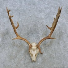 Fallow Deer Skull Antler European Mount For Sale #15155 @ The Taxidermy Store