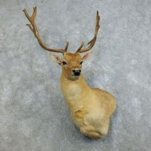 Fallow Deer Taxidermy Shoulder Mount For Sale