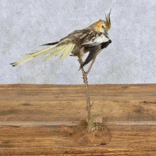Perched Female Cockatiel Taxidermy Bird Mount For Sale