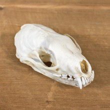 Fisher Skull Taxidermy Mount For Sale