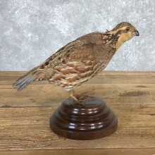 Female Bobwhite Quail Bird Mount For Sale #19795 @ The Taxidermy Store