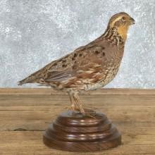 Female Bobwhite Quail Bird Mount For Sale #19797 @ The Taxidermy Store