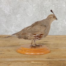 Female California Quail Bird Mount For Sale #19800 @ The Taxidermy Store