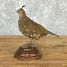 Female California Quail Taxidermy Bird Mount For Sale