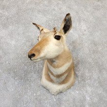 Female Pronghorn Antelope Shoulder Mount For Sale #19333 @ The Taxidermy Store