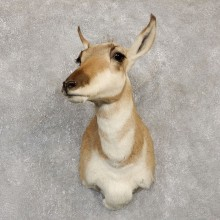 Female Pronghorn Antelope Taxidermy Shoulder Mount For Sale