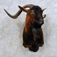 Feral Goat Shoulder Mount For Sale #15908 @ The Taxidermy Store
