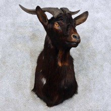 Feral Goat Shoulder Mount For Sale #15913 @ The Taxidermy Store
