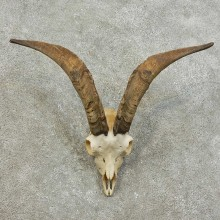 Feral Goat Skull European Mount For Sale #16012 @ The Taxidermy Store