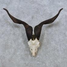 Feral Goat Skull European Taxidermy Mount For Sale