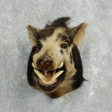 Feral Boar Taxidermy Shoulder Mount For Sale